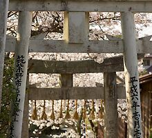 cherry blossom and torii (another view) by parisiansamurai