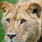 Young Male African Lion  by Chris  Randall