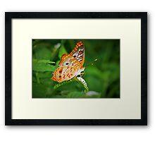 White peacock butterfly Framed Print