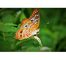 White peacock butterfly Photographic Print