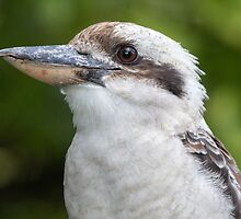 Kookaburra by jezza323