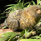 Pygmy Marmoset by Trish Meyer