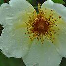 Rosa 'Golden Wings' by Julie Sherlock