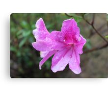 pretty pink garden flowers with rain drops. Canvas Print
