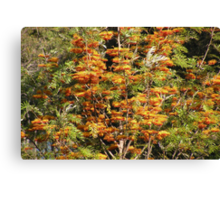 In all it's glory ... Grevillea robusta Canvas Print