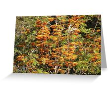 In all it's glory ... Grevillea robusta Greeting Card