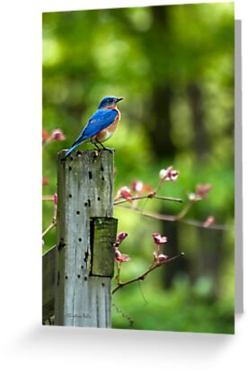 Eastern Bluebird by Christina Rollo
