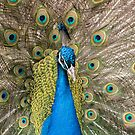 Show Off Closeup of a Peacock by cadman101