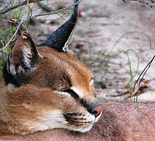 Caracal 1 by Lauren McGregor