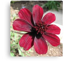 Chocolate Cosmos Canvas Print