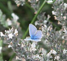 Common Blue Two by Lauren McGregor