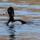 Ring Necked Duck by Dennis Cheeseman