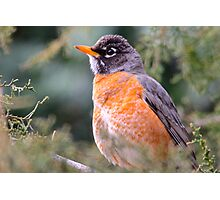 Red Breast Robin 3 Photographic Print