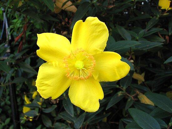 Sunshine Yellow Hypericum Blossom by BlueMoonRose