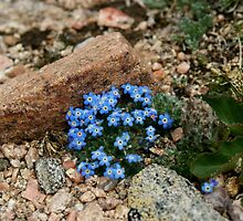 Mt. Evans - Blue Flowers on a 14er by aborrowedlook