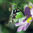 Macleay's Swallowtail by Clare Colins