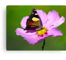 Australian Admiral Butterfly Canvas Print