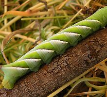 Privet Hawk Moth Caterpillar by Trish Meyer