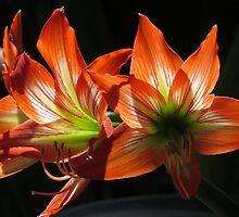 hippeastrum - colors and light of the springtide I - colores y luz de la primavera by Bernhard Matejka