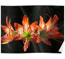 hippeastrum - colors and light of the springtide II - colores y luz de la primavera Poster