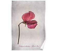 Lathyrus odoratus - Sweet Pea Poster