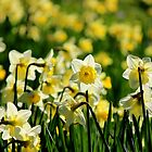 Daffodils by Elena J