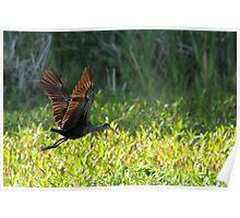 Flying Limpkin Poster