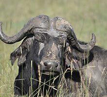 Buffalo by Frits Klijn (klijnfoto.nl)
