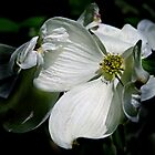 Dogwood in Bloom by cclaude