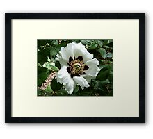 Chinese Tree Peony Framed Print