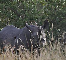 A lonely rhino by Frits Klijn (klijnfoto.nl)