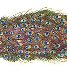 Peacock Watercolor Pencil by Kaitlee Venable