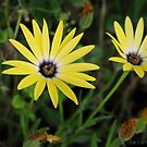 Yellow African Daisy by Jan  Tribe