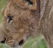 Lioness by Frits Klijn (klijnfoto.nl)