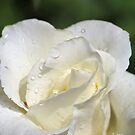 White Rose by Bob Hardy