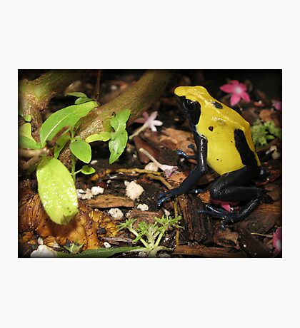 Dyeing Dart Frog Photographic Print