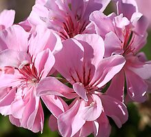 Geranium Pinks by Joy Watson
