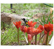 'SORRY I CAN'T RESIST THEM'! New Holland Honeyeater spoiling the flowers. Mt. Pleasant. S.A. Poster
