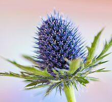 Blue Sea Holly by Anna Omiotek-Tott
