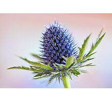 Blue Sea Holly Photographic Print