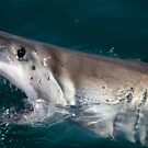 Great white shark by Anna Phillips