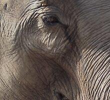 Elephant by TheShutterbugsG