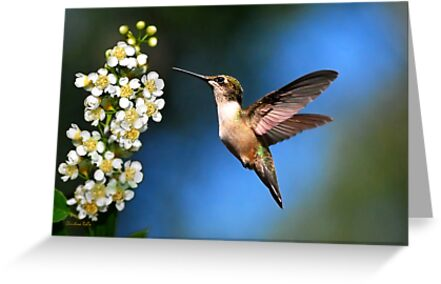 Hummingbird Just Looking by Christina Rollo