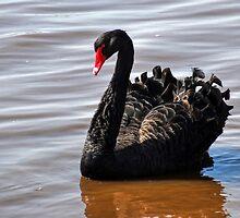 Single Black Swan At Topsham,Devon UK by lynn carter
