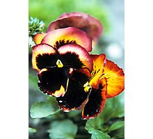 Heirloom Pansy  Photographic Print