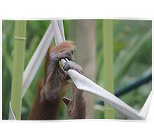 Orangutan Hands At The Zoo Poster