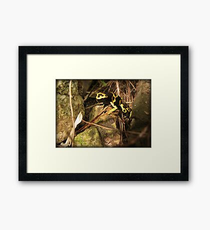 Yellow-banded Dart Frog Framed Print
