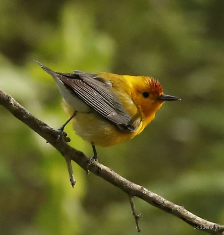 Prothonotary Warbler by SuddenJim