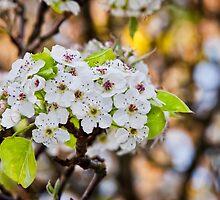 Yoshino Cherry Flower by Alexphotospdx
