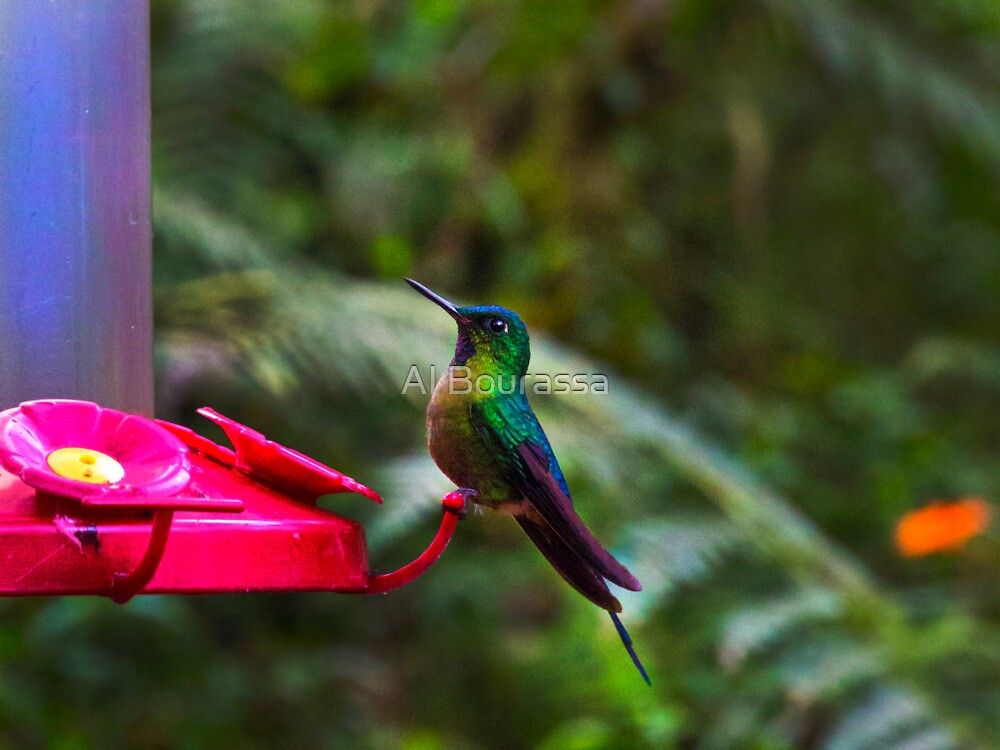 Another Mindo Hummer by Al Bourassa